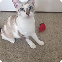 Adopt A Pet :: Sugar - Tampa, FL