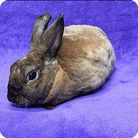 Mini Rex Mix for adoption in Lewisville, Texas - Shim