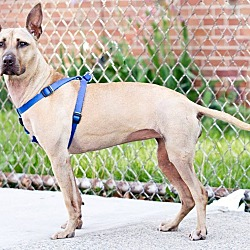 Photo 3 - American Pit Bull Terrier/Shepherd (Unknown Type) Mix Dog for adoption in Brooklyn, New York - Regina
