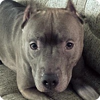 American Staffordshire Terrier/American Pit Bull Terrier Mix Dog for adoption in Staten Island, New York - Pacino