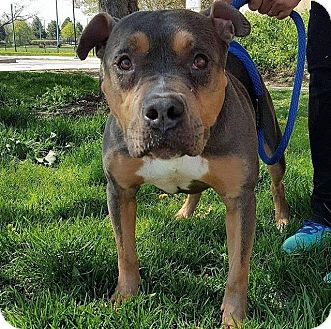 Pit Bull Terrier/American Staffordshire Terrier Mix Dog for adoption in Warrenville, Illinois - Fern