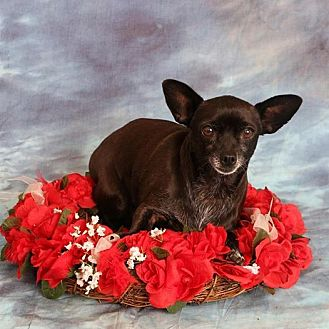 Rat Terrier Dog for adoption in Aqua Dulce, California - Sunshine
