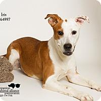 Adopt A Pet :: Iris - Baton Rouge, LA