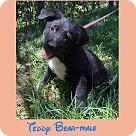 Adopt A Pet :: Teddy Bear (POM dc)