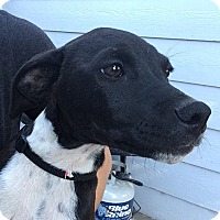Adopt A Pet :: Jellybean - Fort Collins, CO