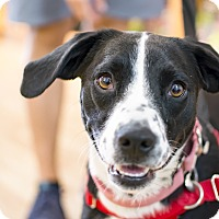 Adopt A Pet :: Simone Biles - Jersey City, NJ