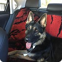 German Shepherd Dog Dog for adoption in Marina del Rey, California - Branston