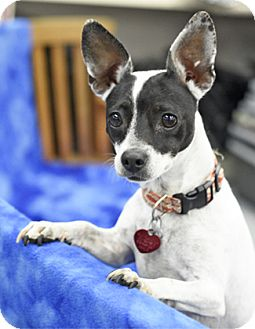 Rat Terrier Mix Dog for adoption in Pt. Richmond, California - CHACHA