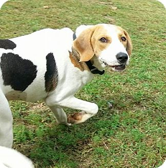 Treeing Walker Coonhound Mix Puppy for adoption in Shinnston, West Virginia - Daisy