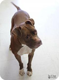 American Staffordshire Terrier Mix Dog for adoption in Yukon, Oklahoma - Suri