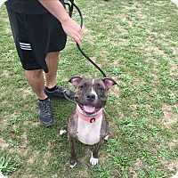 Adopt A Pet :: Layla - Lake Grove, NY
