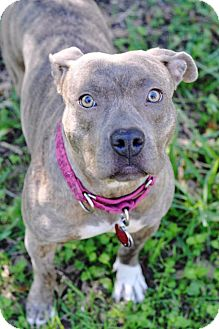 Pit Bull Terrier/American Staffordshire Terrier Mix Dog for adoption in College Station, Texas - Magnolia