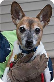 Rat Terrier Mix Dog for adoption in Duluth, Minnesota - Harold