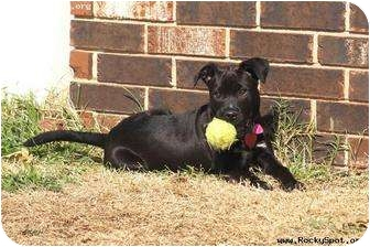 Labrador Retriever/Terrier (Unknown Type, Medium) Mix Dog for adoption in Newcastle, Oklahoma - Raven