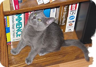 Russian Blue Kitten for adoption in Harrisburg, North Carolina - Mickey