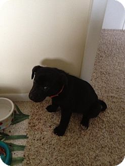 Labrador Retriever Mix Puppy for adoption in Laingsburg, Michigan - Duke