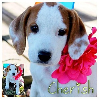 Coonhound Mix Puppy for adoption in Garden City, Michigan - Cherish