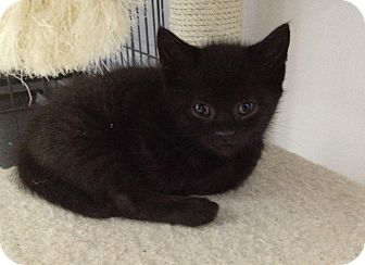 Domestic Shorthair Kitten for adoption in Island Park, New York - Black Jack & Black Mac