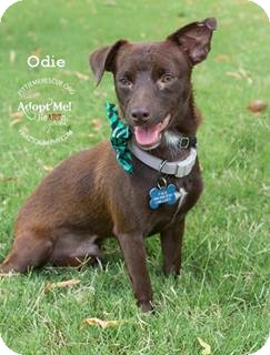 Dachshund/Chihuahua Mix Dog for adoption in Gilbert, Arizona - Odie