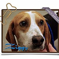Adopt A Pet :: Ziggy - Portland, OR