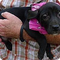 Adopt A Pet :: Saqquara sweety - Sacramento, CA