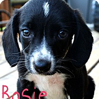 Adopt A Pet :: Rosie - Brazil, IN