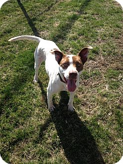 Pointer Mix Dog for adoption in Manchester, Connecticut - Jazzy in CT