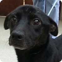 Terrier (Unknown Type, Medium)/Dachshund Mix Dog for adoption in Winder, Georgia - Ace