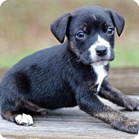 Adopt A Pet :: BEAGLE MIX PUPPIES-FOSTERS NEEDED! - Franklin, TN