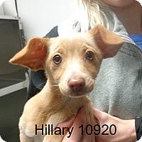 Adopt A Pet :: Hillary - baltimore, MD