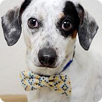 Adopt A Pet :: Pirate - Dublin, CA