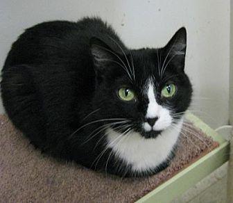 Domestic Shorthair Cat for adoption in Columbus, Ohio - Pearl