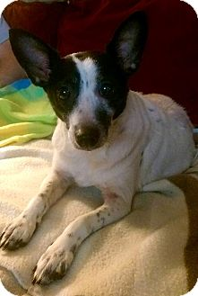 Chihuahua Mix Dog for adoption in Hockessin, Delaware - Angel
