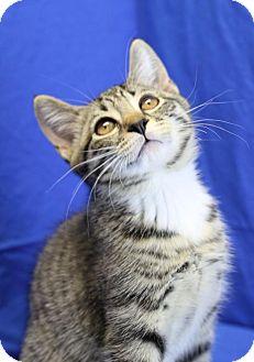 Domestic Shorthair Kitten for adoption in Winston-Salem, North Carolina - Walker