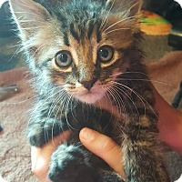 American Shorthair Cat for adoption in Toms River, New Jersey - Duke