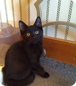 Domestic Shorthair Kitten for adoption in Wayland, Michigan - Rebel