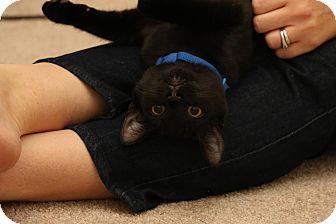 Domestic Shorthair Kitten for adoption in Middletown, Ohio - Ross