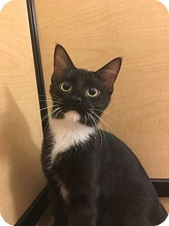 Manx Kitten for adoption in Taylor, Michigan - Rosie /Rosewood