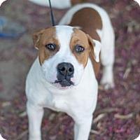 Adopt A Pet :: Pumpkin Spice - Fresno CA, CA