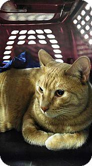 Domestic Shorthair Cat for adoption in Las Vegas, Nevada - Sid