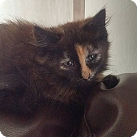Domestic Mediumhair Kitten for adoption in Monterey, Virginia - Lily Pearl