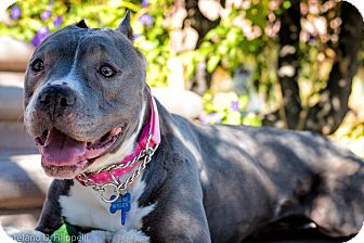 Pit Bull Terrier Mix Dog for adoption in Santa Monica, California - Venus