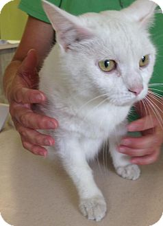 Domestic Shorthair Cat for adoption in Newburgh, Indiana - Angel
