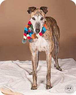 Greyhound Mix Dog for adoption in Northbrook, Illinois - Sonic