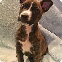 Adopt A Pet :: Maddox - Plainfield, CT