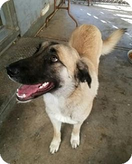 German Shepherd Dog/Great Pyrenees Mix Dog for adoption in Gustine, California - LOVEY