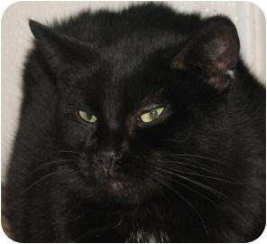 Domestic Shorthair Cat for adoption in Woodstock, Illinois - Maryanne