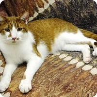 Domestic Shorthair Cat for adoption in Stuart, Virginia - Muppet