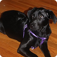 Adopt A Pet :: Precious Prim - Madison, NJ
