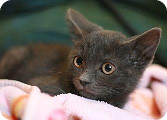 Canoga Park, CA - Russian Blue. Meet Dimitri a Kitten for ...